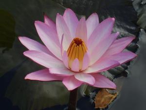 lotus large